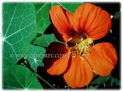 Beautiful orange flower and green foliage of Tropaeolum majus (Nasturtium, Garden Nasturtium, Indian Cress, Monks Cress), 23 Nov 2017