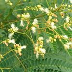 Falcataria moluccana flowers