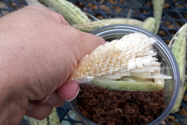 a hand holding a different pod, all the seeds removed so only the white strands are showing, neatly folded