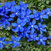 Gentiana pontica by Clive Pickton