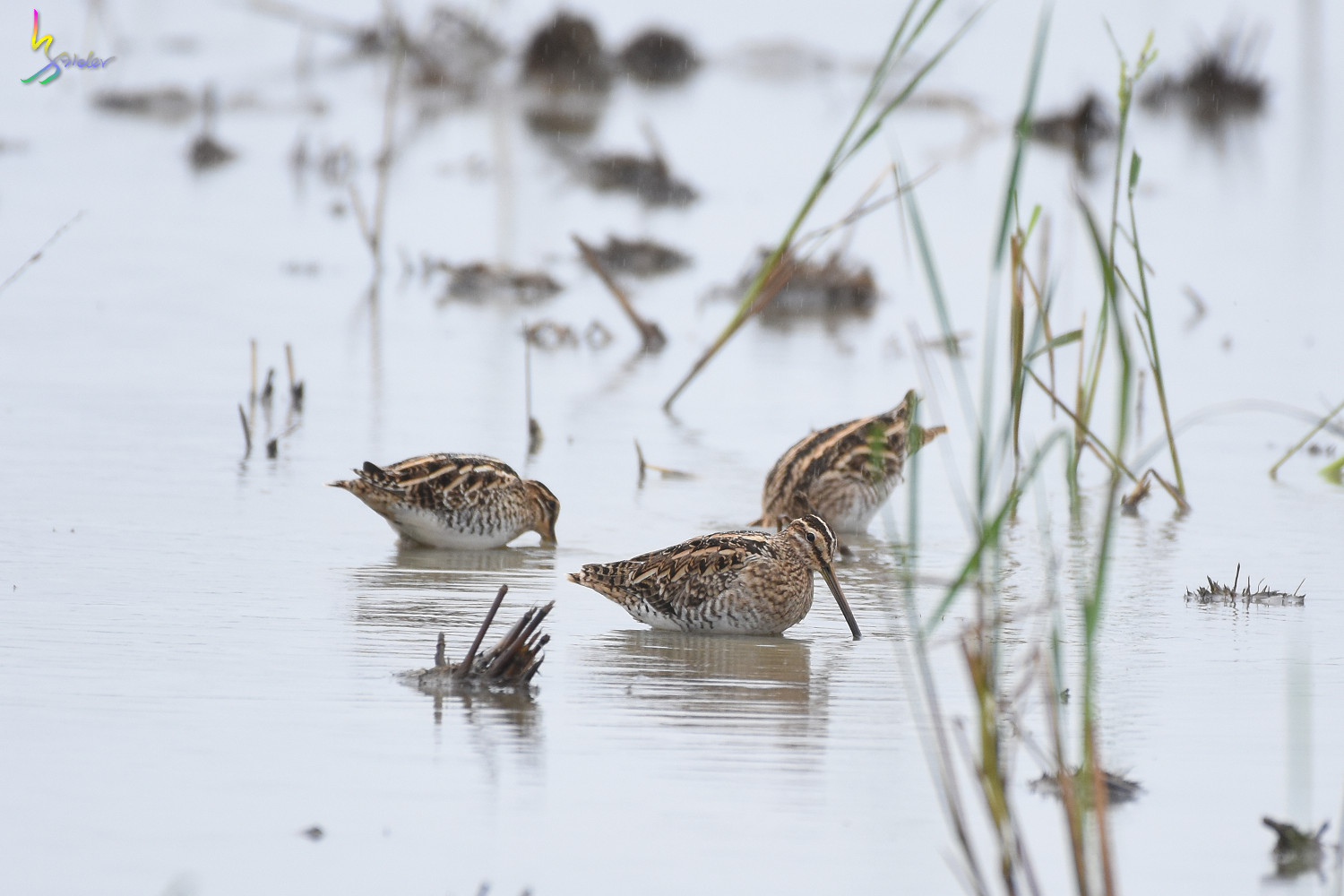 Common_Snipe_9304