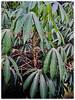 Manihot esculenta (Cassava, Brazilian Arrowroot, Yuca, Ubi Kayu in Malay)