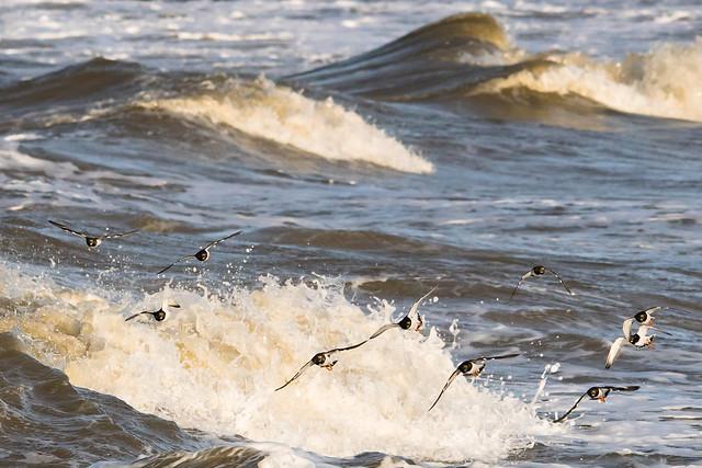Ruddy Turnstones and surf