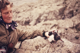 Me with oystercatcher chick in rain. Bu Ness. Fair Isle. By Douglas Willis. 1962