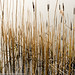 Reeds, Rydal Water, Lake District National Park