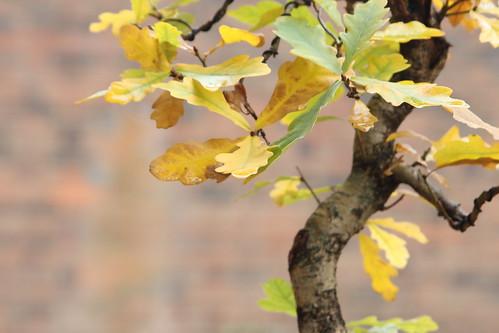 English Oak 26558789169_fca1ddd65b