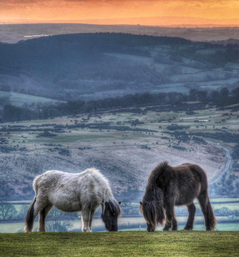 Dartmoor ponies, Dartmoor. Credit Baz Richardson, flickr