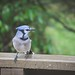 BlueJay by bj1938
