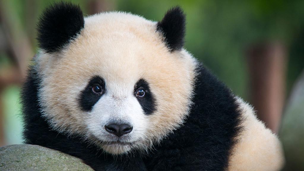 A panda in a tree