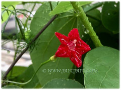 Beautiful bloom of Ipomoea quamoclit (Cypress Vine, Cardinal Creeper/Vine, Star Glory, Hummingbird Vine) seen in Ipoh, Peninsular Malaysia, 28 Nov 2017
