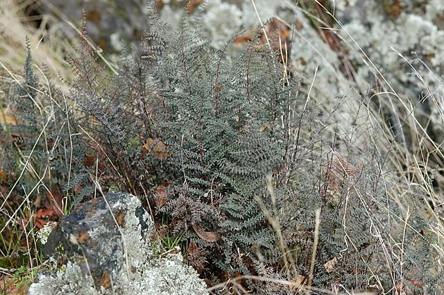 Pellaea mucronata (California Cliffbrake, Bird's Foot Fern)