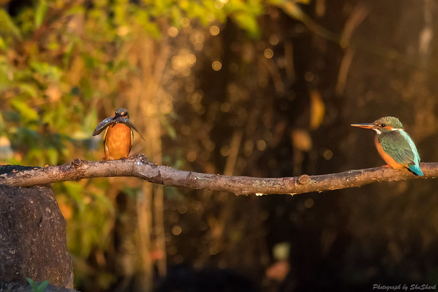 20171111-kingfisher-DSC_7128