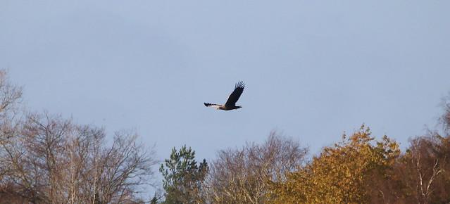 Female eagle making a short flight - IMG_9845w
