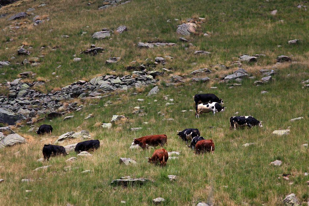 Piemonte - Biellese:Valle Elvo: Roch delle Fate, la mandria