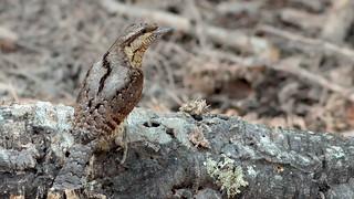 Torcicolo - Jynx torquilla - Eurasian wryneck