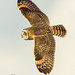 Banking in Evening Light (Short-Eared Owl) by The Owl Man