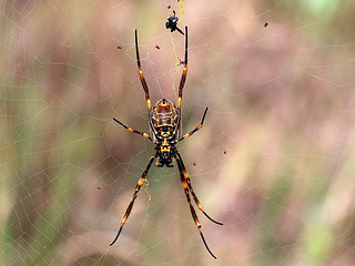 Golden Orb Weaver (ventral) and kleptoparasites