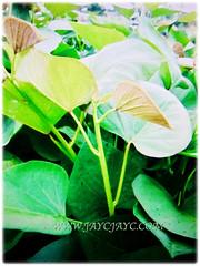 Ipomoea batatas (Sweet Potato, Sweet Potato Vine, Keledek in Malay), a herbaceous perennial vine that spreads up to 3.05 m long, 7 Nov 2017