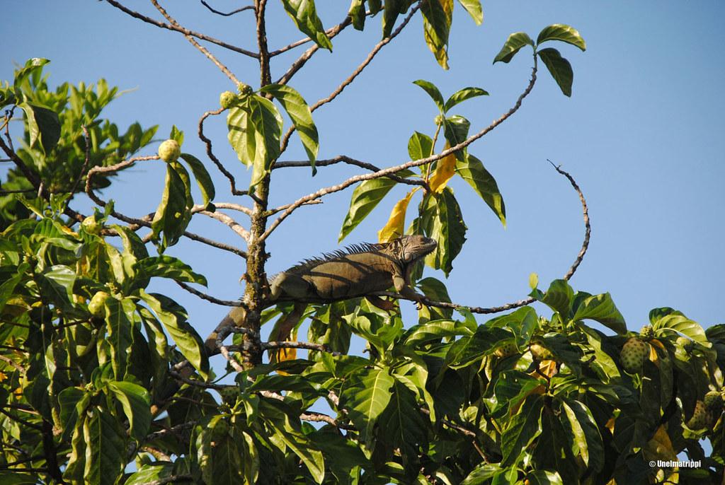 Lisko puussa Tortugueron kylässä, Costa Rica