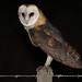 Barn owl by Hugo Areal