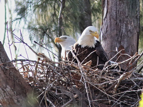 Bald Eagle pair on nest 03-20171111
