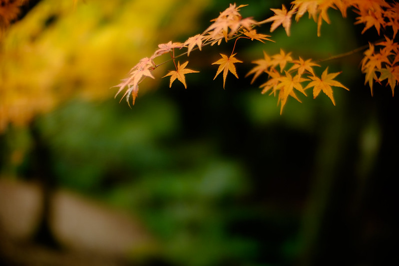 Japanese maple leaves of autumn