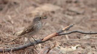 Papa moscas cinzento (Taralhão cinzento) - Muscicapa striata - Spotted Flycatcher