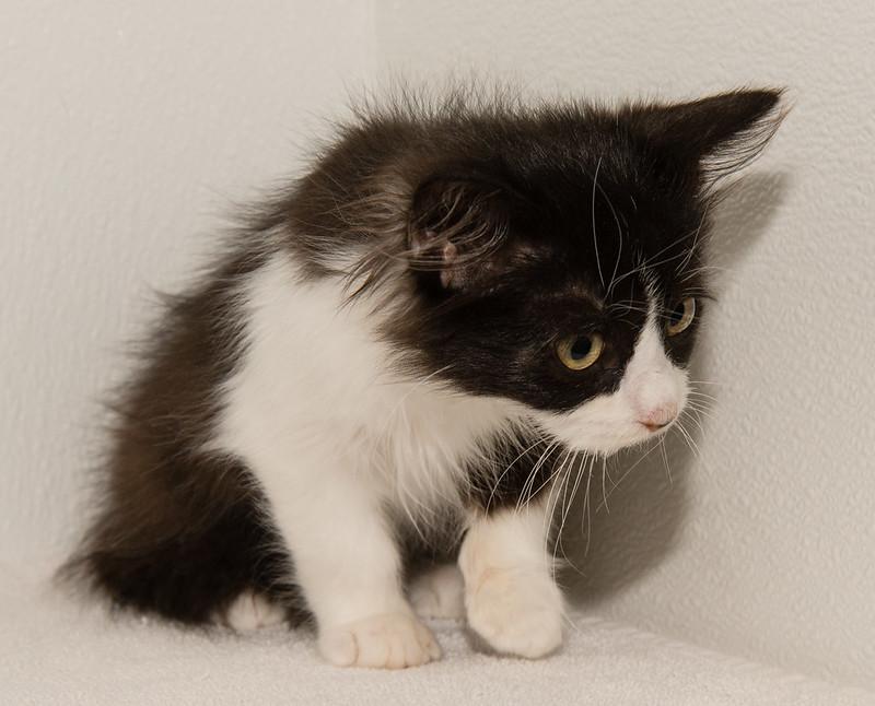 Kitten Owen