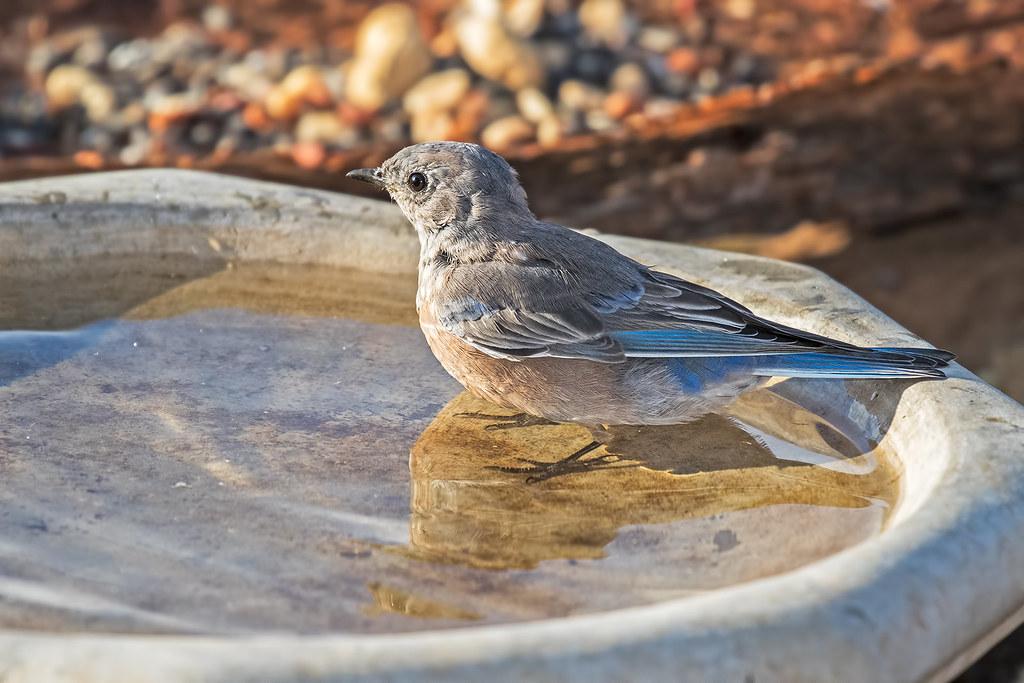 Western-Bluebird-8-7D2-091317