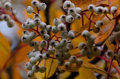 White berries, rowan, Bridgnorth