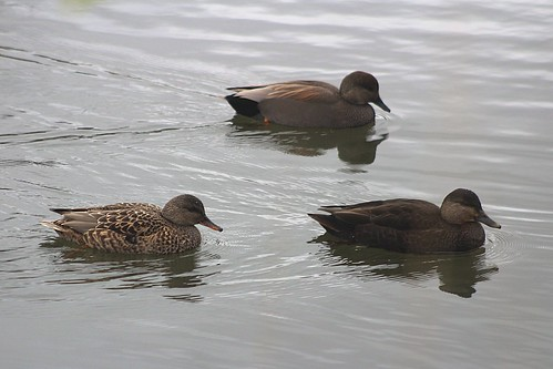 Gadwall and American Black Duck
