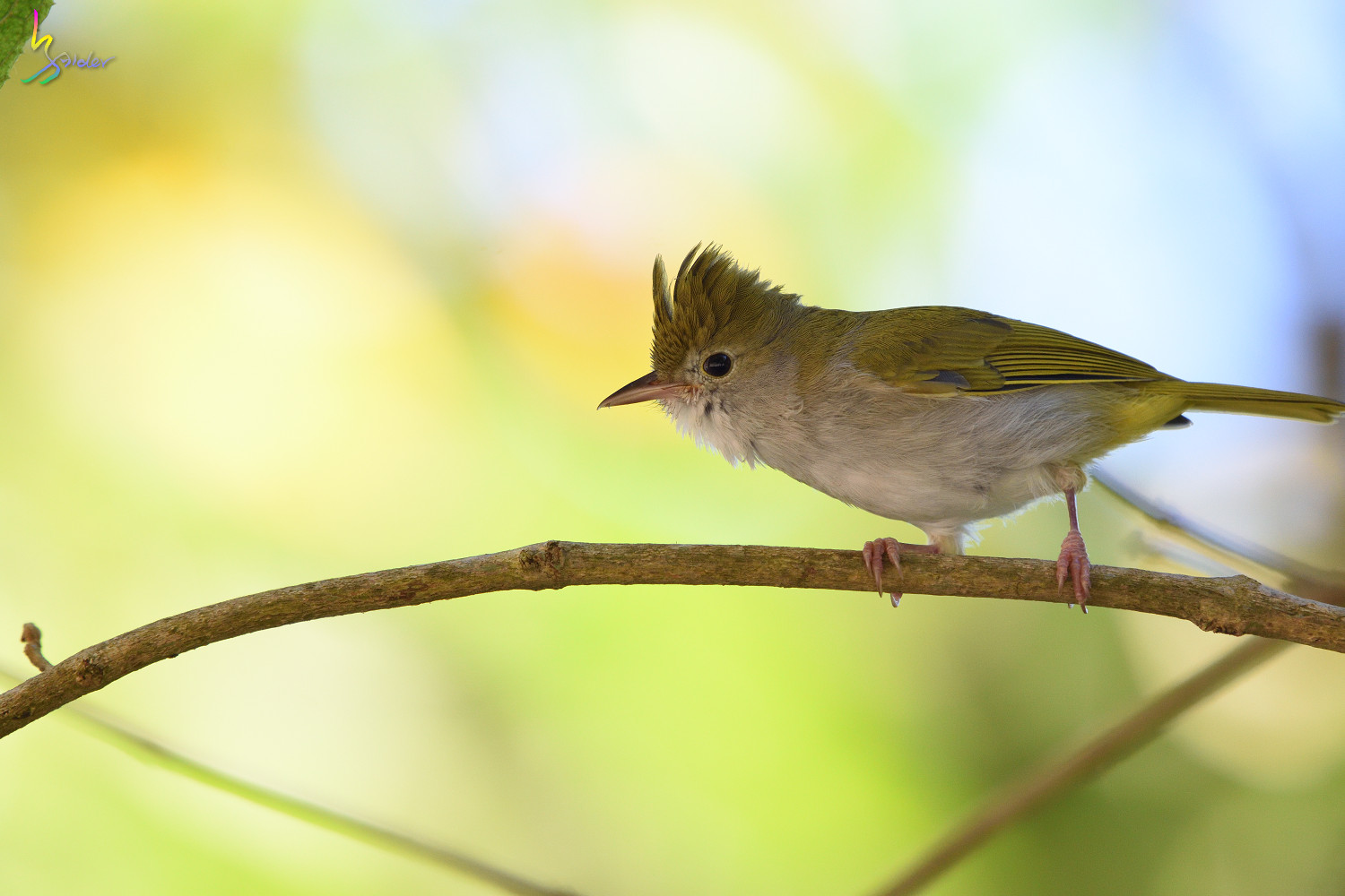 White-bellied_Yuhina_3914