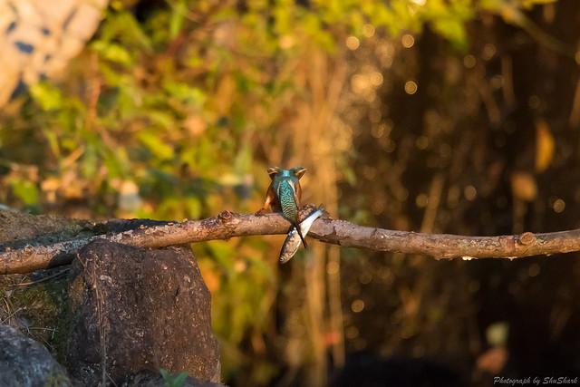 20171111-kingfisher-DSC_7121