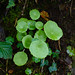 Green leaves, pennywort