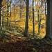 Blaise Beeches in Autumn