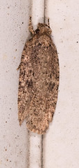Thelma's Agonopterix Moth