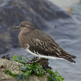 Black turnstone, Arenaria melanocephala, in non-breeding (winter) plumage at Moss Landing