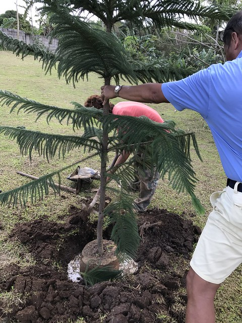 planting araucaria