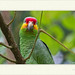 Amazona autumnalis - Red-Lored Parrot