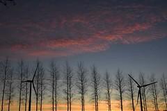 Sunset through the poplars, with wind turbines