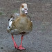 Egyptian goose on path, West Park