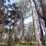 Eucalyptus globulus stand