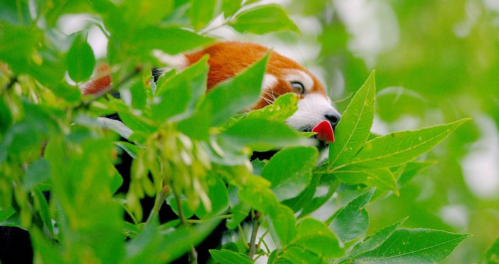 Red Panda_1