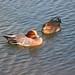 Wigeon ducks