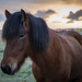 Icelandic Horse by pictcorrect