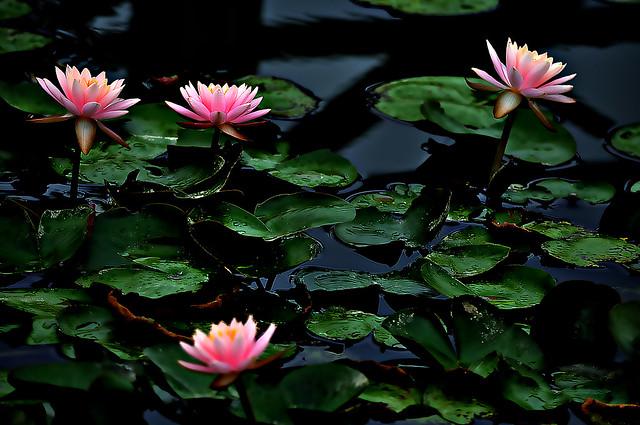 DSC_0440_440 Water Lilies