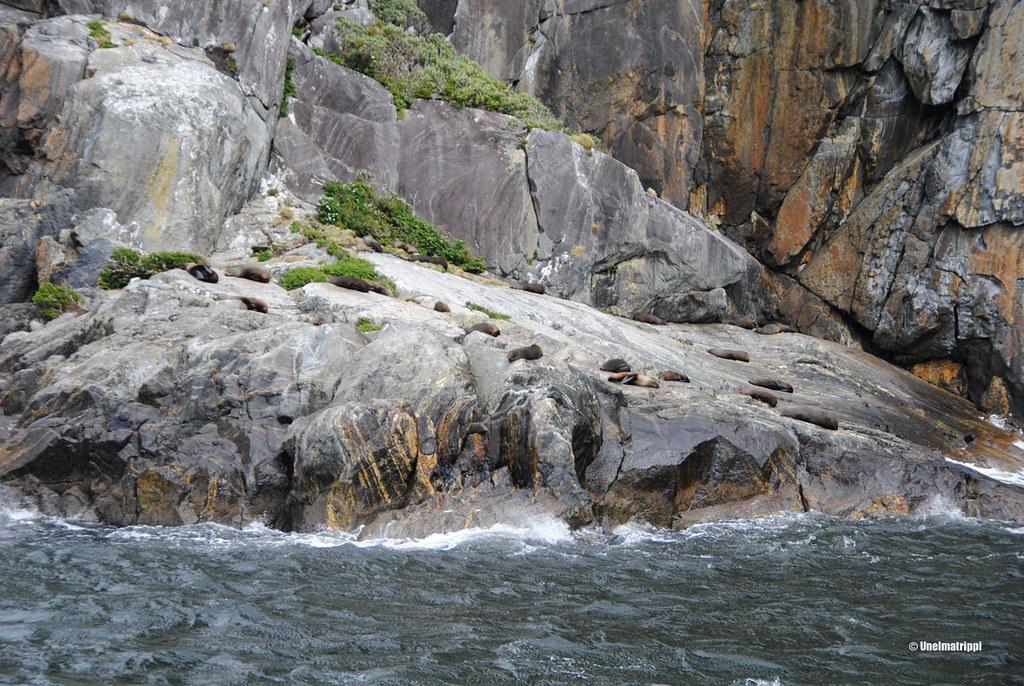 Hylkeitä kalliolla, Milford Sound, Uusi-Seelanti