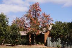 Tree in the neighbourhood: Brachychiton hybrid  'Jerilderie Red'