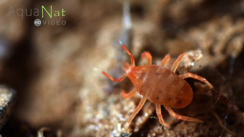 Hunting and predation of a mite
