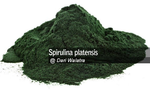 Khasiat Dan Manfaat Obat Spirulina Platensis-G Kapsul